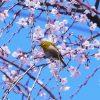 『吉野山の桜』2017年の見頃の時期と駐車場やアクセスを確認!